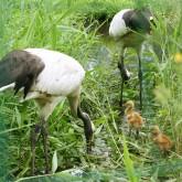 丹頂鶴が観れる「丹頂鶴自然公園」