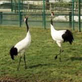 特別天然記念物の丹頂鶴が優雅に遊ぶ