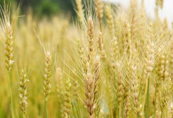 強い甘味と良い風味が特徴のパン作りに適した小麦です
